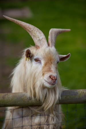 billy goat: close up of a goat looking out over fence