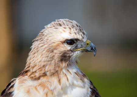 red tailed hawk: Red tailed hawk looking close up