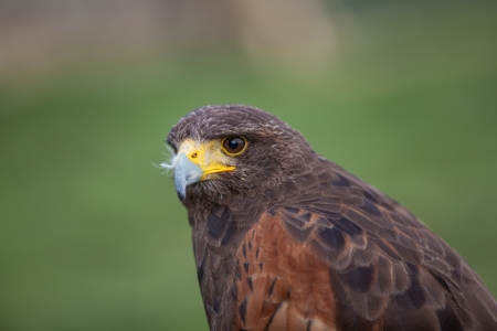 Harris hawk looking to lert photo