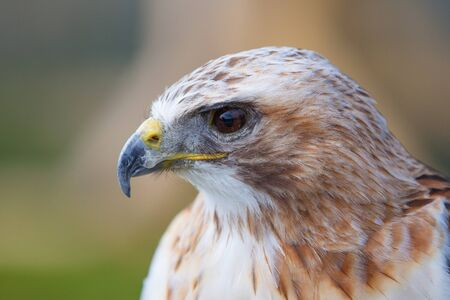 Close up female red tailed hawk photo