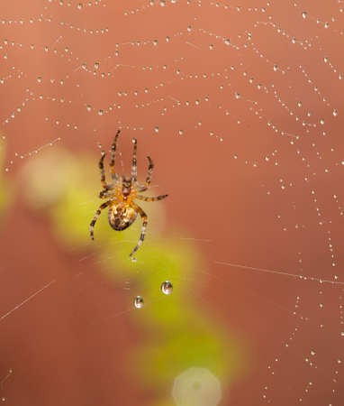 Spider macro shot with rain on web photo