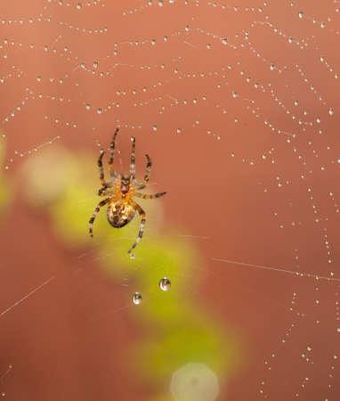 Spider macro shot with rain on web photo