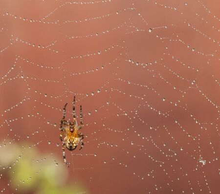 Spider climbing up dew  dropped web photo