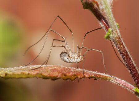 Male harvestman spider in UK photo