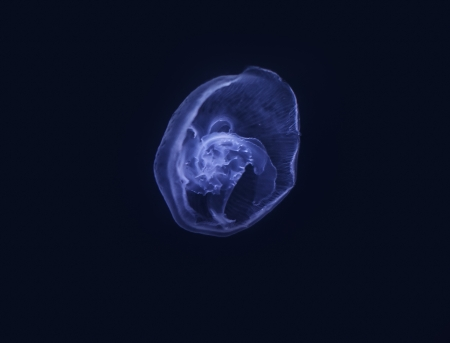 jelly fish: Blue moon jelly fish swimming