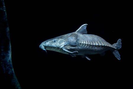 縦びきのこ猫魚と暗い水 ロイヤ...