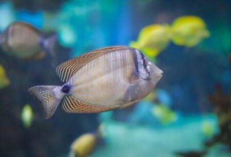 Desjardini tang fish swimming Stock Photo - 15191300