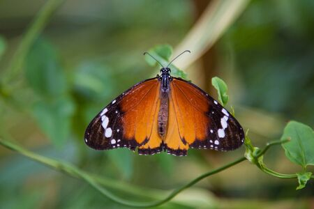 danaus: Plain tiger butterfly on leaf