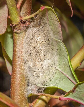 Vapourer moth chrysalis on tree photo