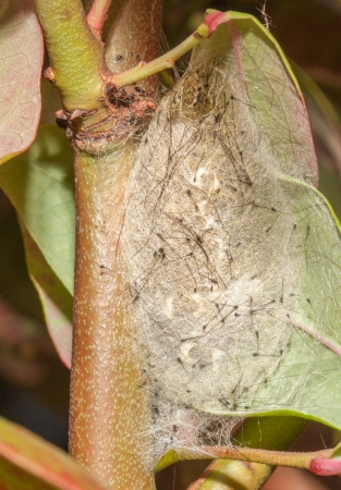 transmute: Vapourer moth chrysalis attached to leaf