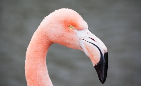 A close up portrait of a pink flamingo photo