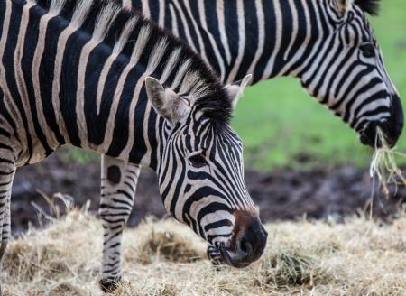 chapman's: Chapmans zebra eating