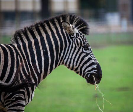 chapmans: Chapmans zebra eating grass