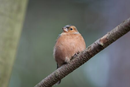 chaffinch: Fringuello cercando su un ramo
