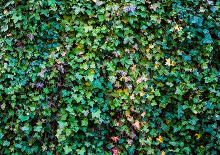 wall ivy: Ivy fondo de la pared tiro Foto de archivo
