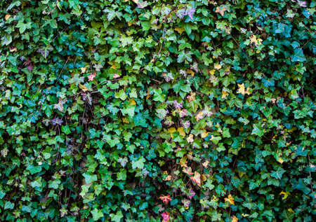 Ivy Wall background shot Stock Photo - 16713402
