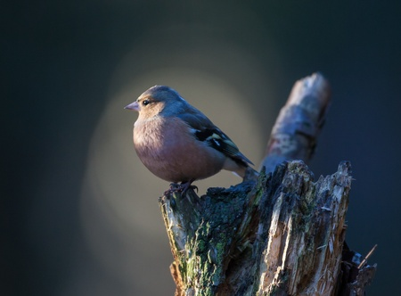 Chaffinch on a tree looking photo