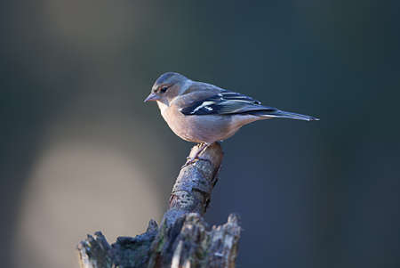 chaffinch: fringuello femmina sul ramo