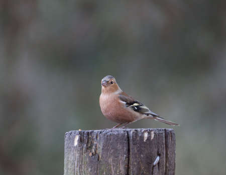 Chaffinch on tree stump looking photo