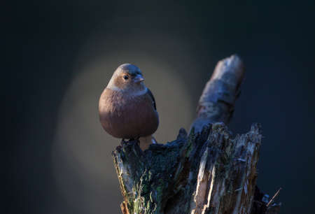 chaffinch: chaffinch on a tree