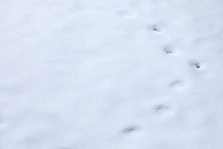 winter Animal tracks in snow photo