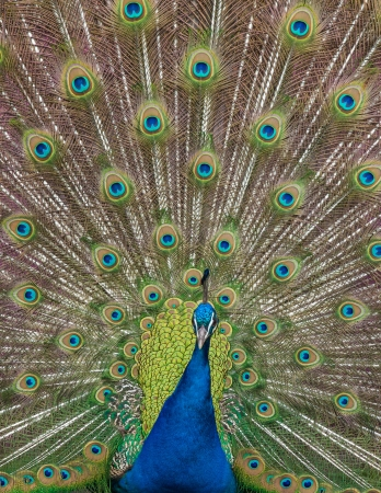close up view of a peacock showing feathers photo