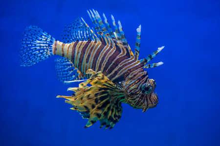 stingfish: Scorpion Fish with blue background Stock Photo