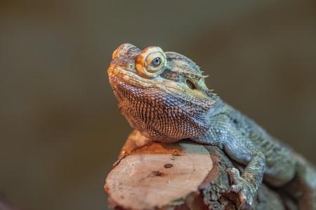 bearded dragon lizard: Bearded Dragon Lizard Stock Photo