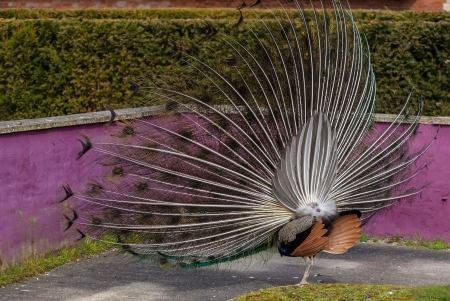common peafowl: close up view of a peacock showing feathers Stock Photo