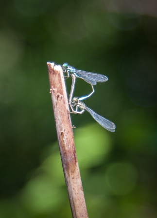 damsel: Damsel flies Mating on branch on stick Stock Photo
