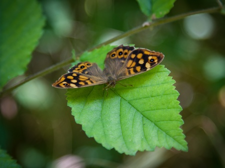 speckled wood: Speckled Wood butterfly on leaf Stock Photo