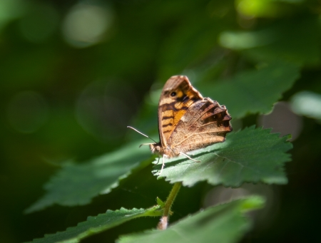 speckled wood: Speckled wood butterfly, side view