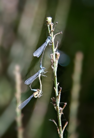 reproducing: Three Damsel flies Mating on branch Stock Photo
