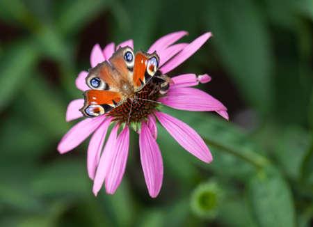peacock butterfly: Peacock mariposa en la flor de color rosa