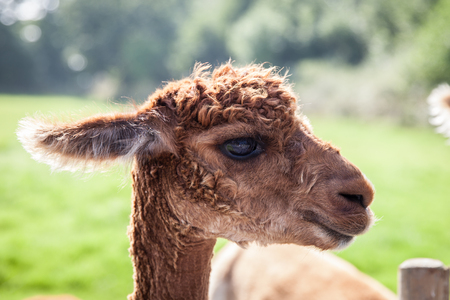 Young llama head shot photo