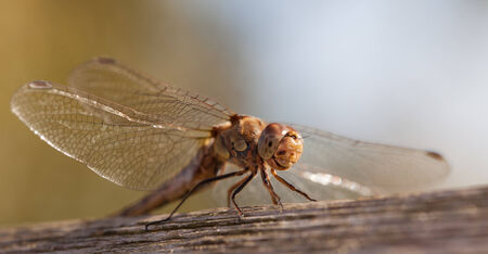 immature: Immature Common darter Dragon fly just hatched