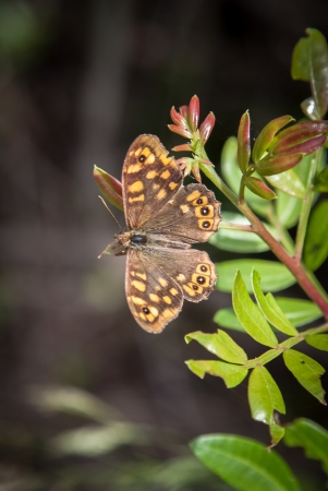 speckled wood: Speckled wood butterfly macro