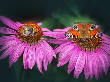 Peacock butterfly and bee on pink flower photo