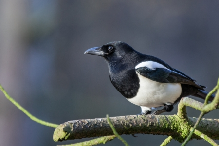 magpie: Picture of a magpie