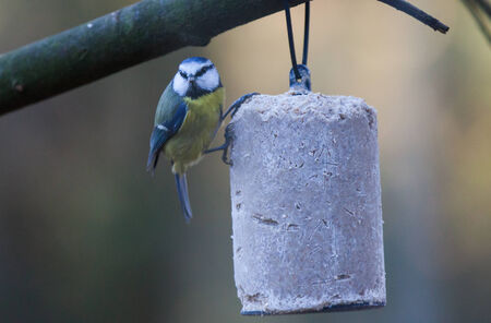 great tit: Great tit on a feeder with food