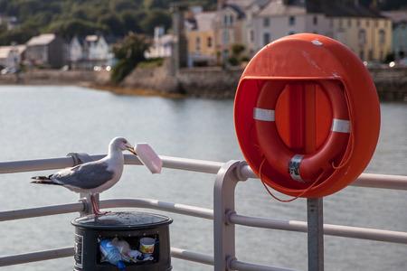 scavenging: Sea gull scavenging from bin,