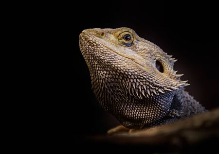 Bearded Dragon sat on branch photo
