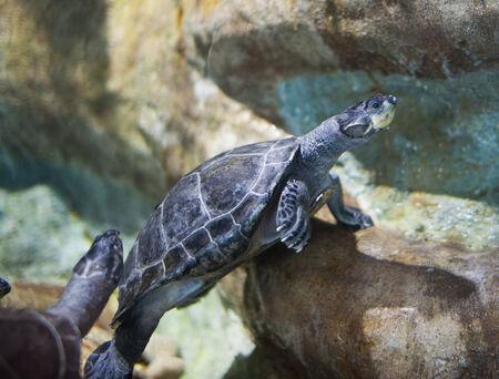terrapin: Tartaruga d'acqua dolce sotto la piscina di acqua Archivio Fotografico
