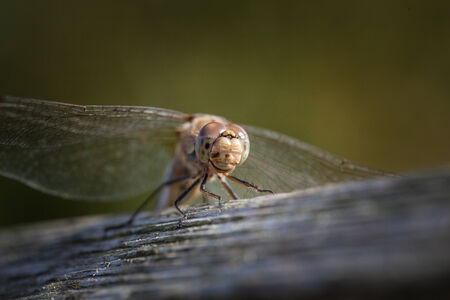 darter: Immature Common darter Dragon fly just hatched