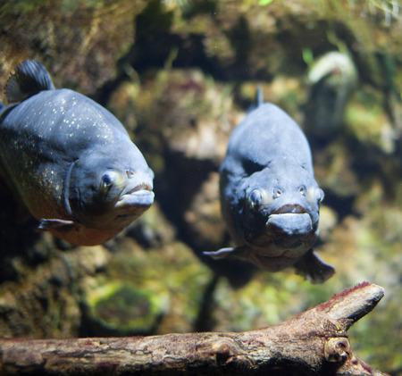 pygocentrus: Picture of piranha under water