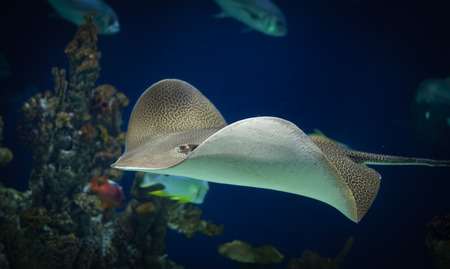 Leopard ray swimming in the deep Stock Photo