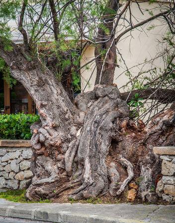 wierd: Old wierd Tree growing through wall Stock Photo