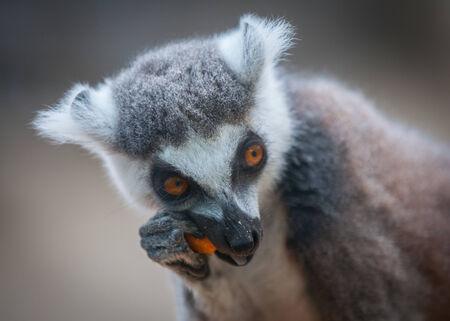 close up   head: Close up head shot of a lemur Stock Photo