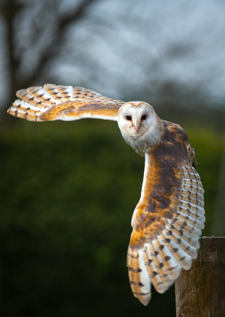 Barn owl in the country side flying Stock Photo