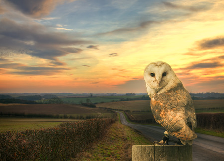 Barn owl in the country side photo